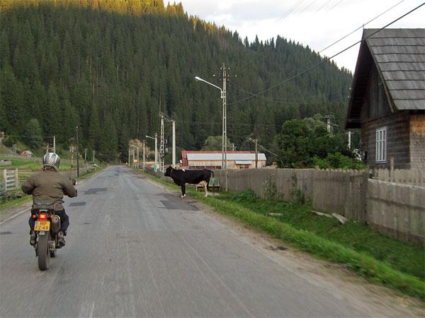 Motor en koe dwars op de weg